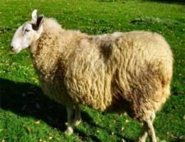 tunisie-aid-el-kebir-mouton-260x200.jpg