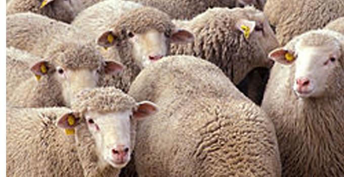 mouton-aid-el-kebir